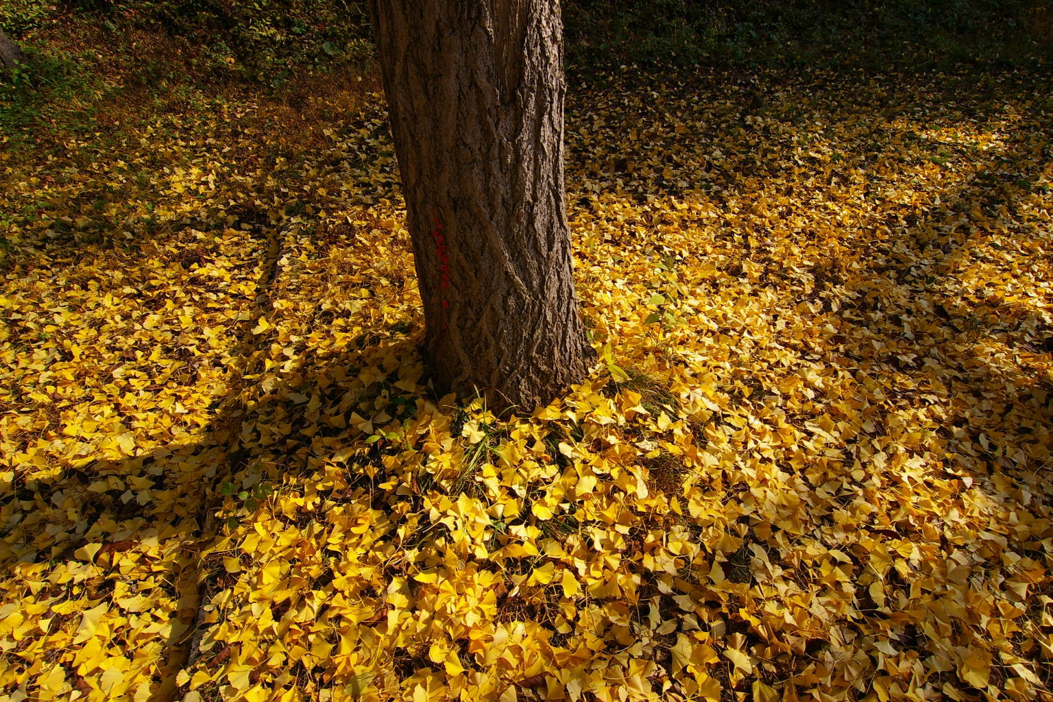 若木山公園 イチョウの枯葉の絨毯です