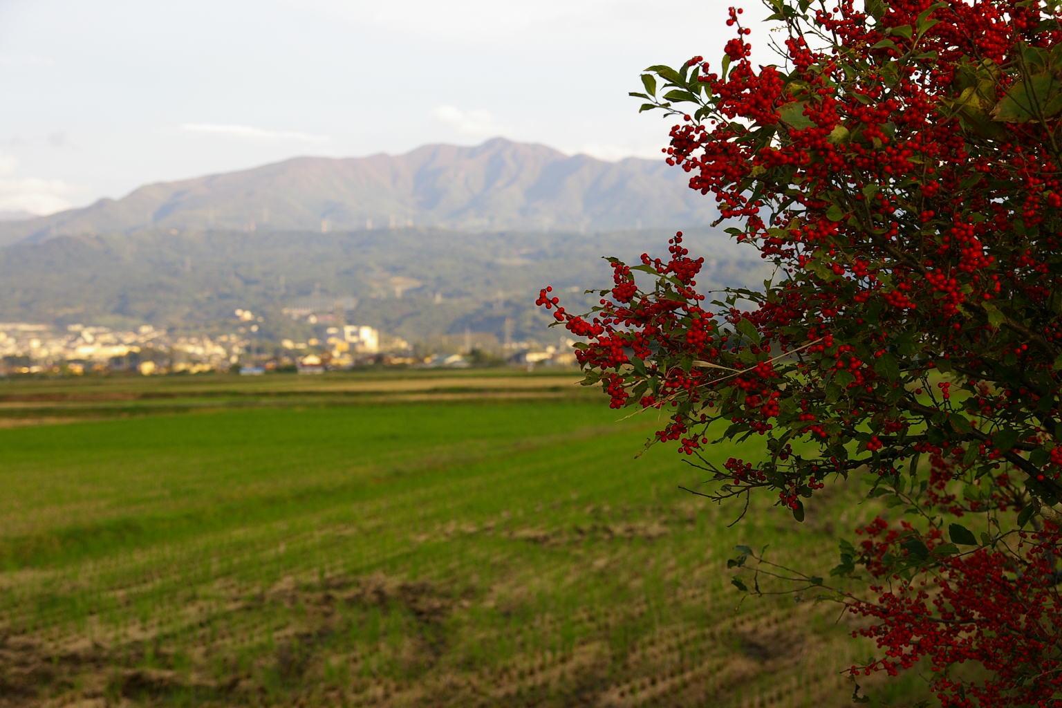 山形市 秋の蔵王、そして赤い実
