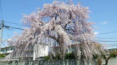 山形市南原町の桜満開