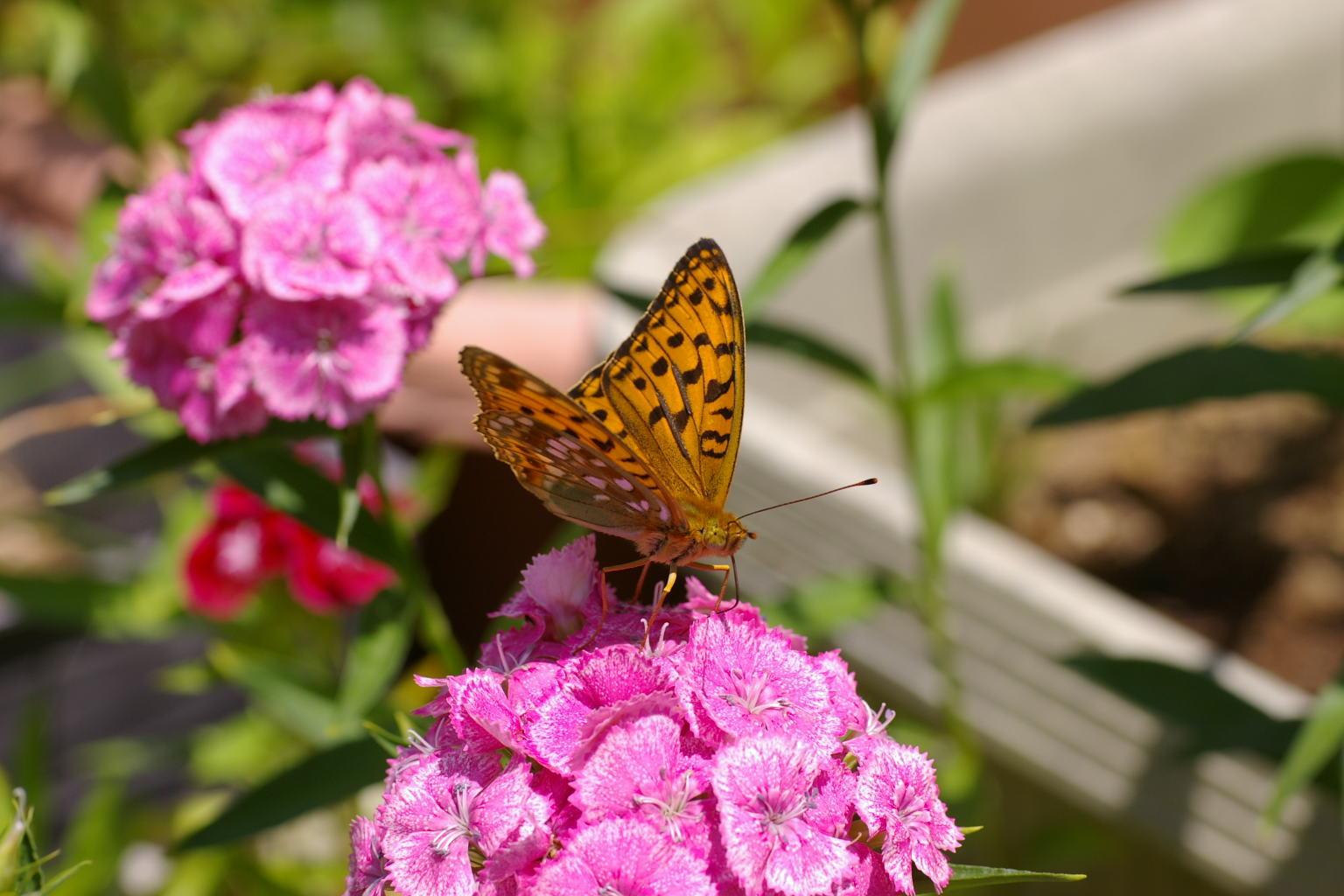 なでしこと蝶 我が家の庭