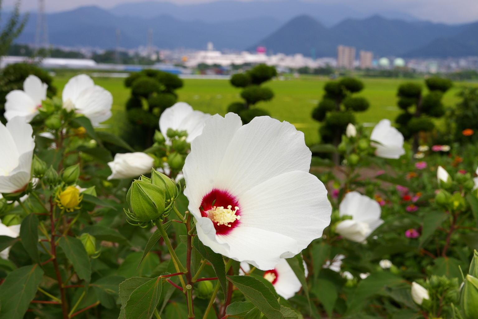 山形市 芙蓉の白い花と遠くに南ジャスコ