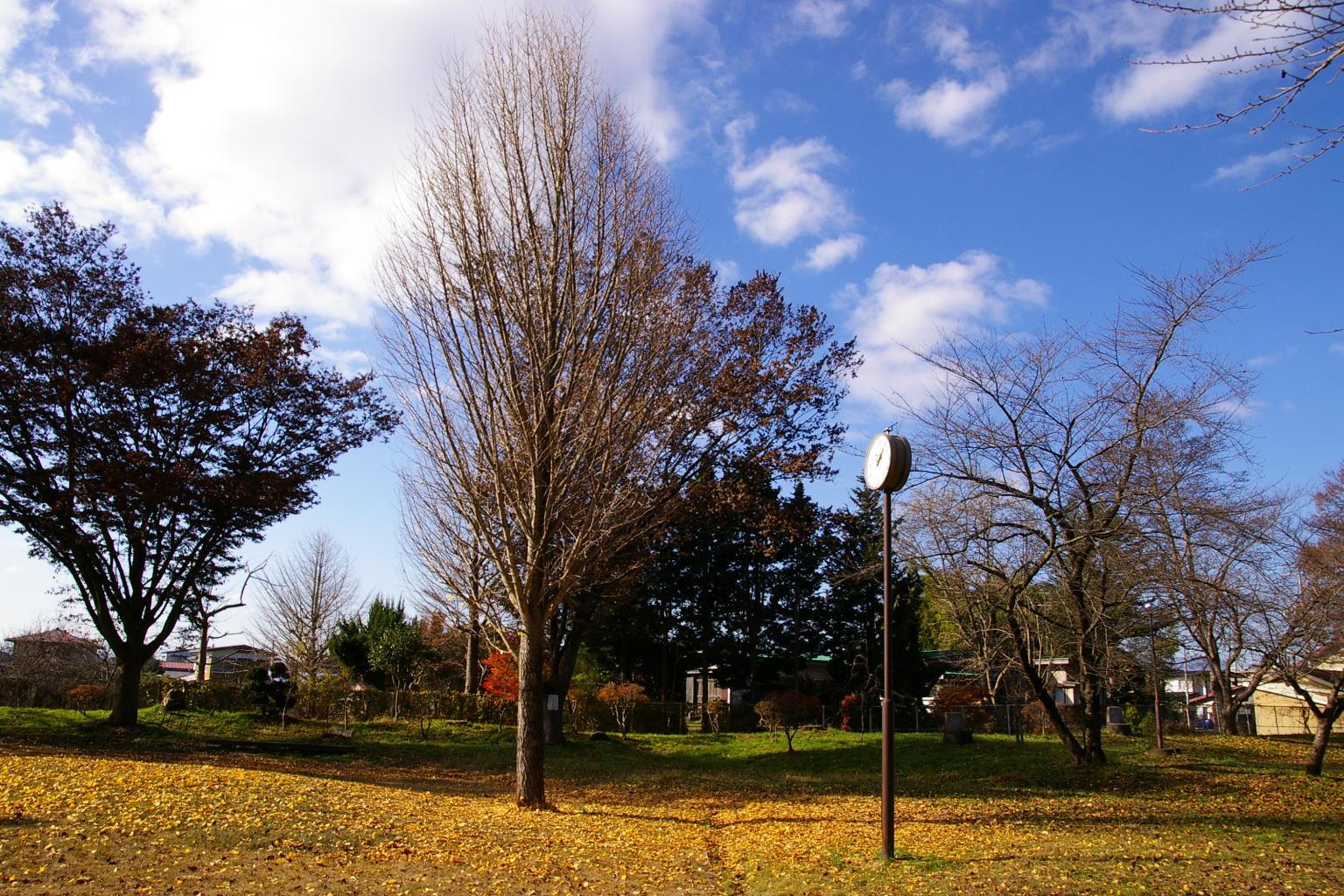 若木山公園イチョウの木