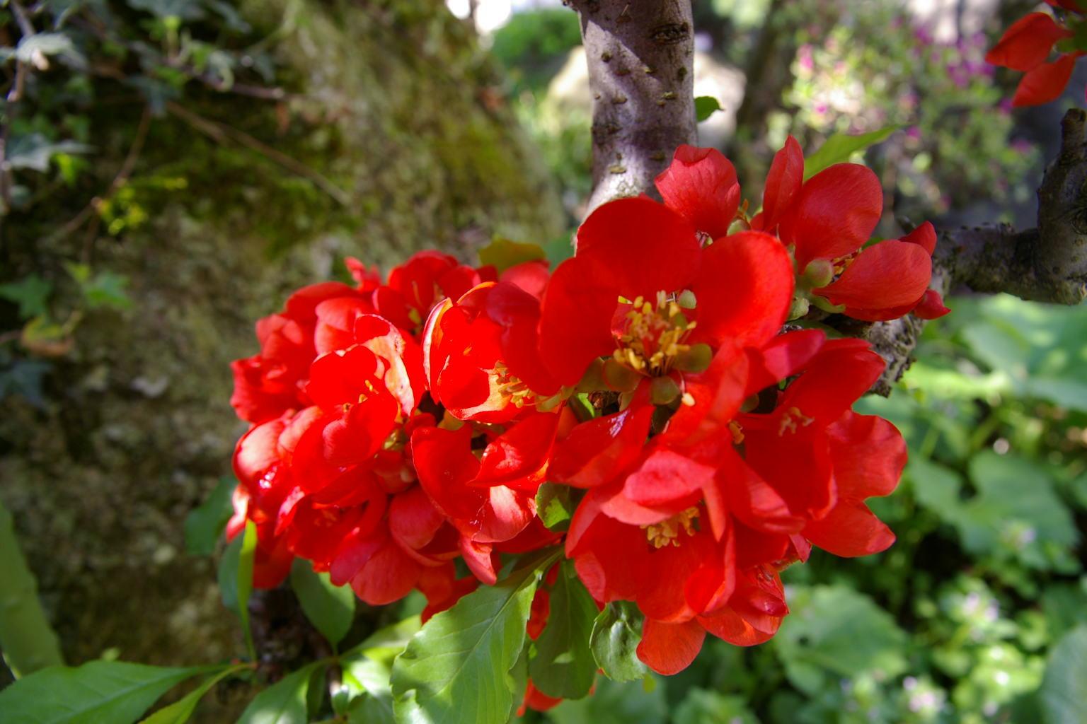 朝日があたる木瓜(ボケ)の花