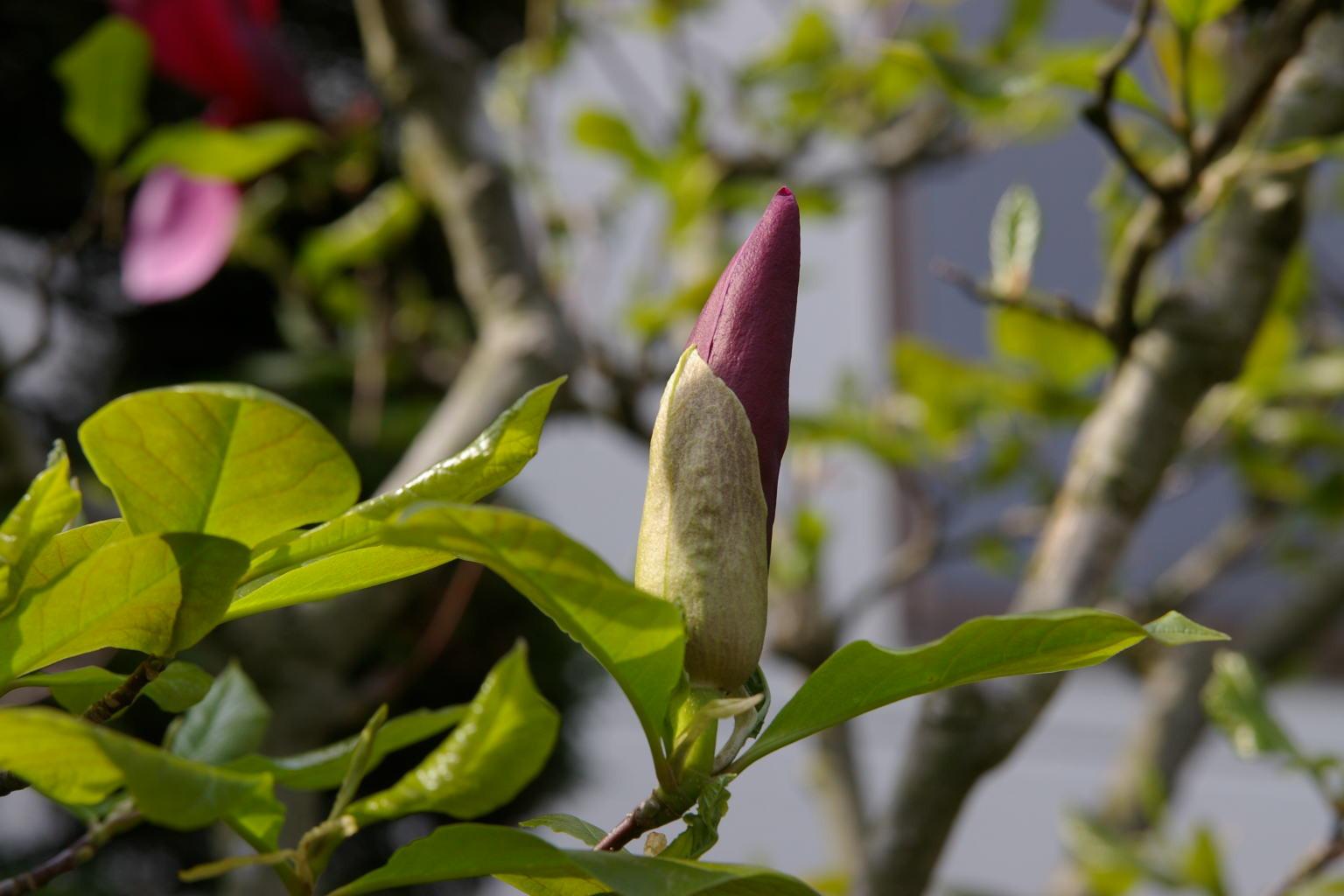 紫木蓮咲きました