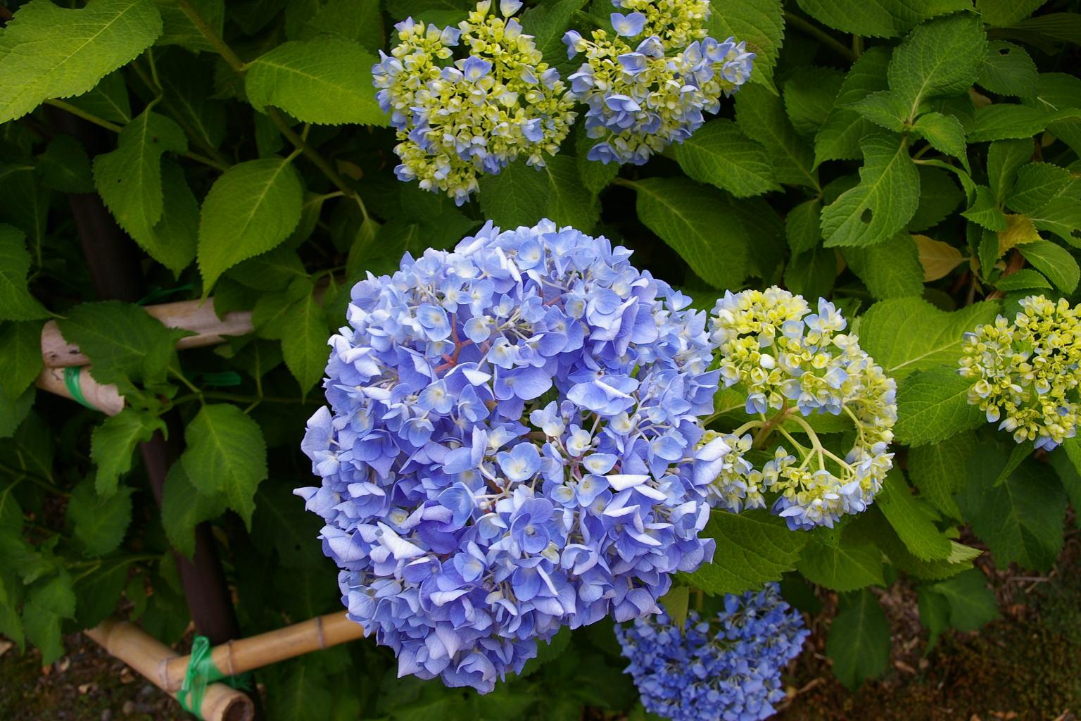 村木沢の紫陽花