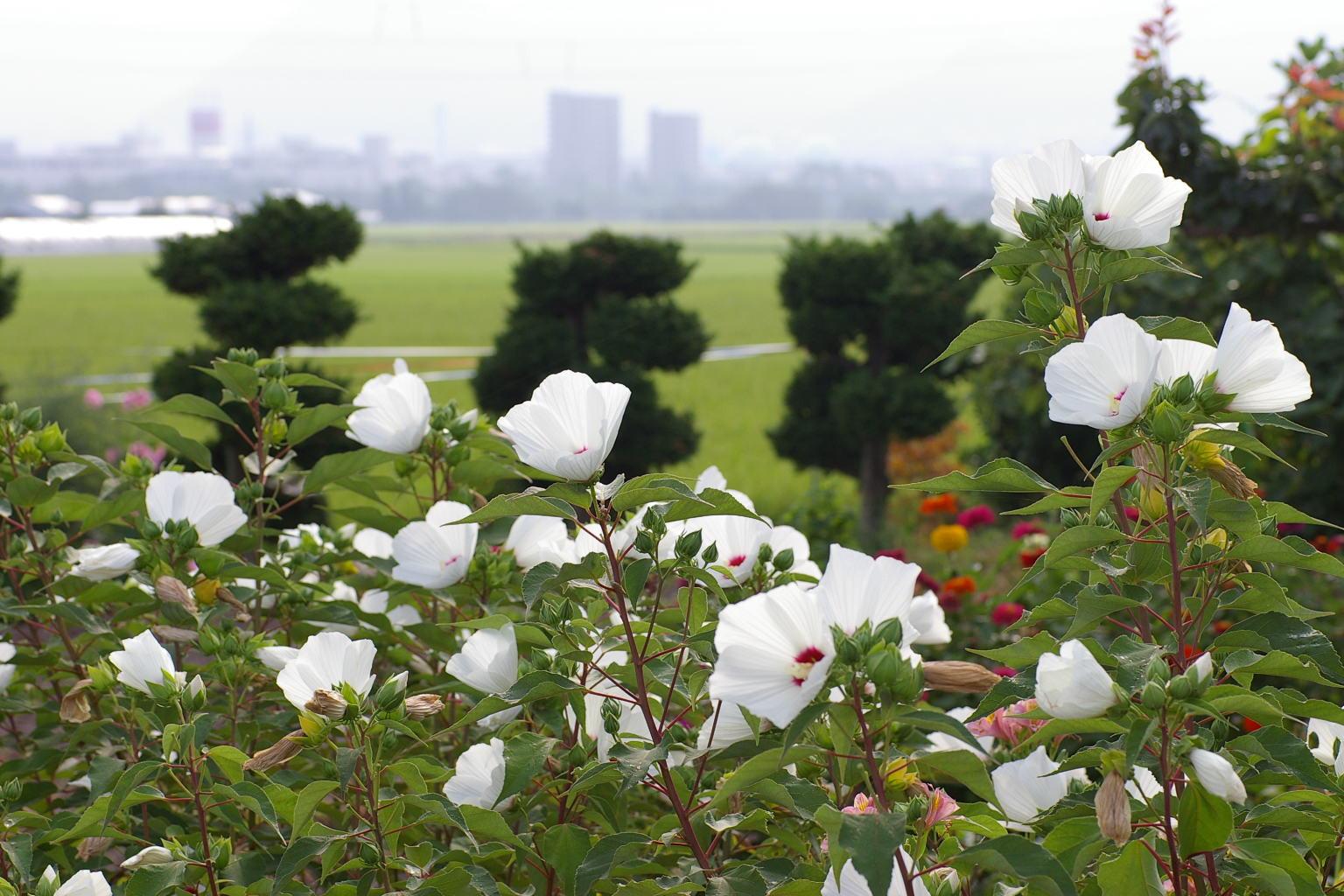 芙蓉の花が綺麗です