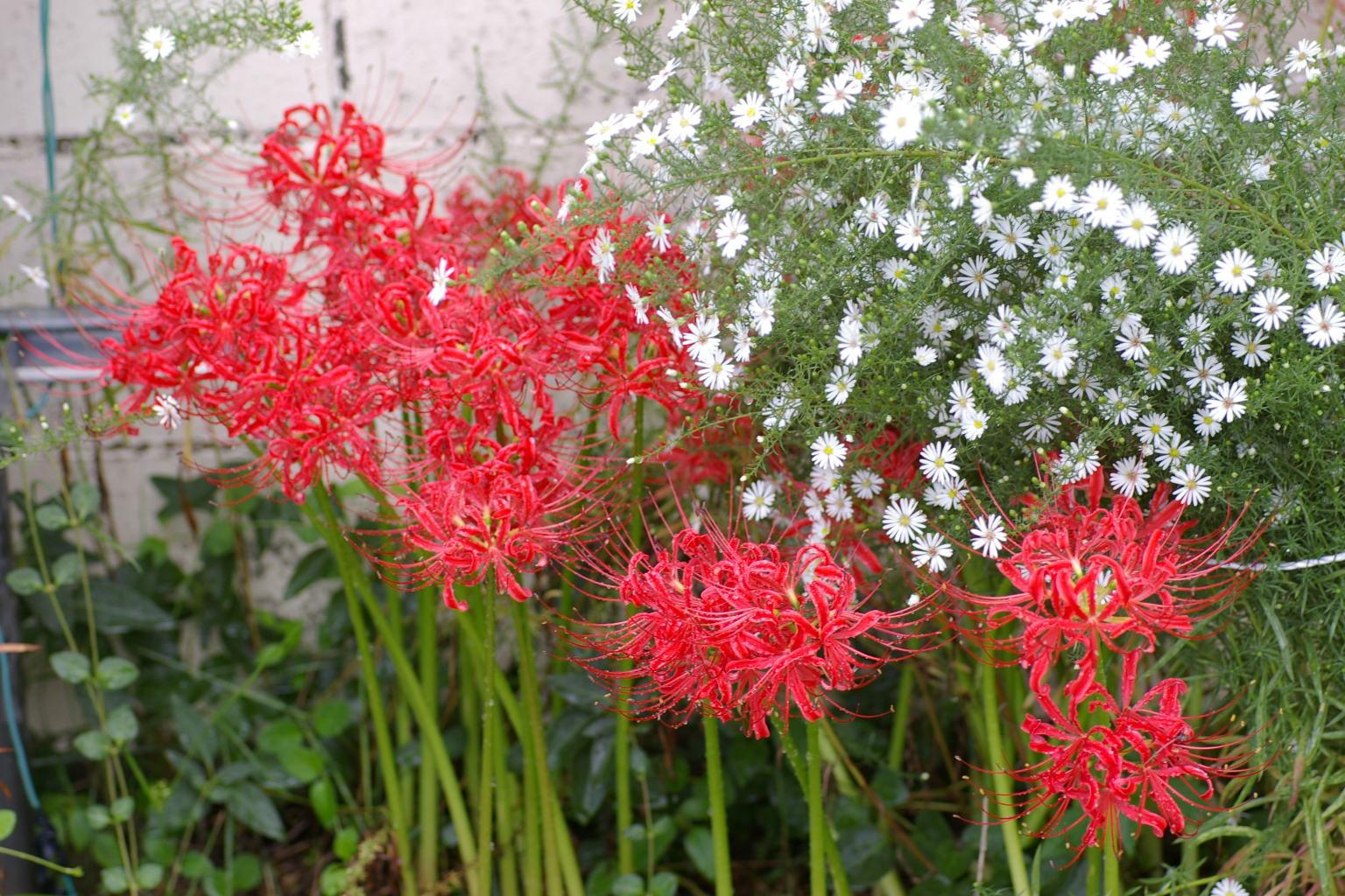 我が家の庭 「小雨降るなか彼岸花」