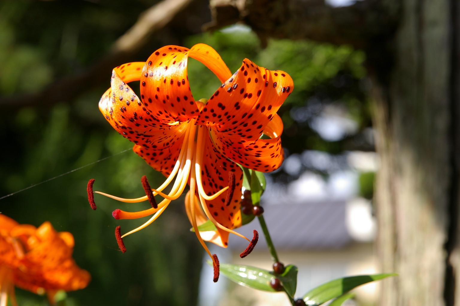 妻の実家では百合の花が綺麗でした
