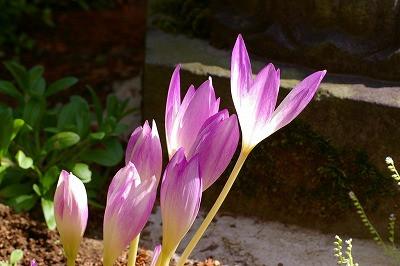 今年もコルチカムが咲きました