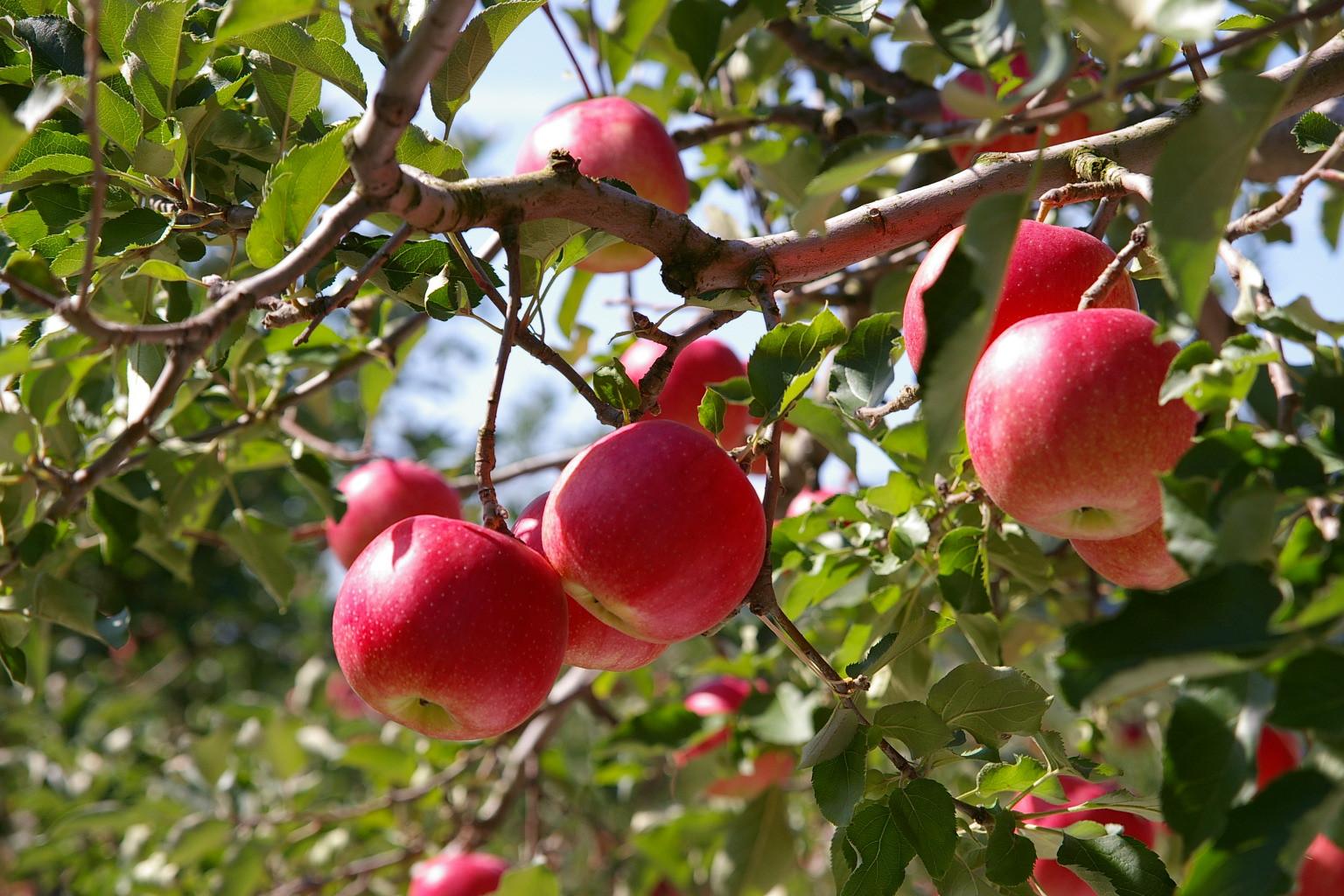 アップルロードのリンゴ