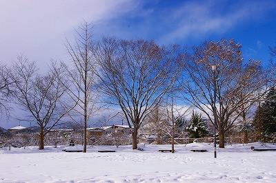 銀杏の木は冬は冬で雪化粧に映えます