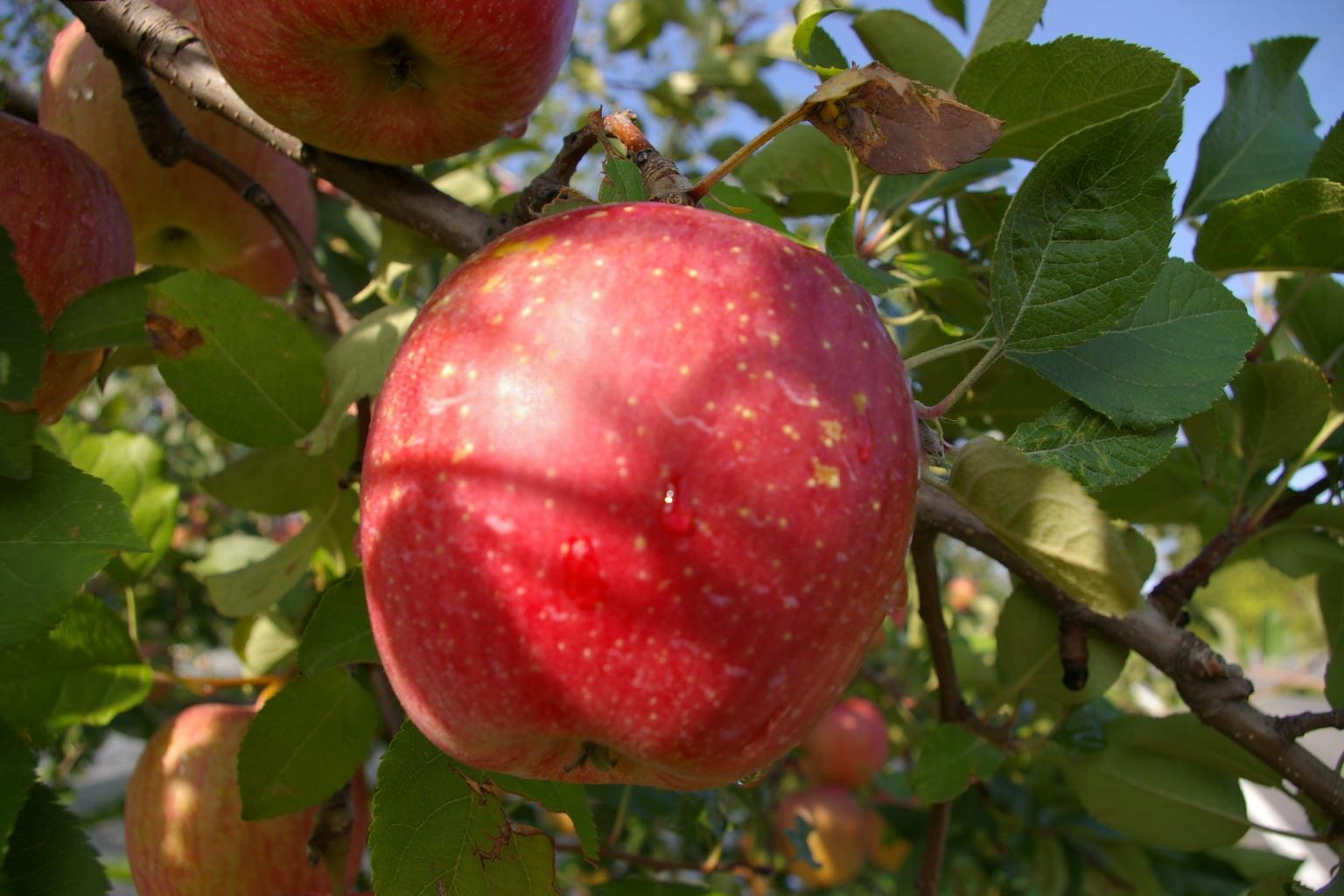 青森県弘前市 津軽のリンゴです!