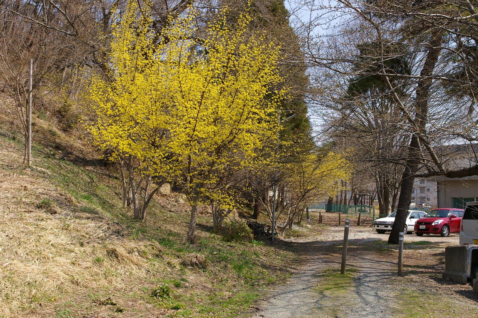 若木山の麓では山茱萸の花が綺麗です。