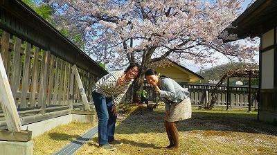 桜が綺麗で満開