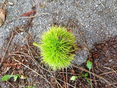 若木山には栗の実が落ちている季節になりました