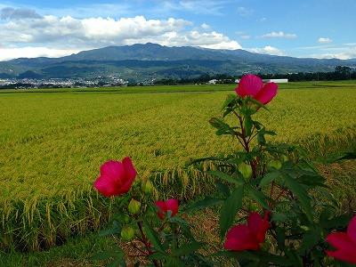紅い芙蓉の花と遠景は蔵王です。