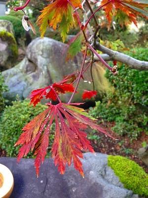 ハウチワカエデの秋の紅葉です