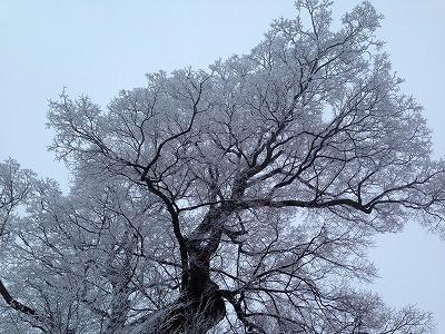 大ケヤキの巨木