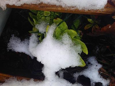 雪が降り、フキノトウも寒そうに凍えていました