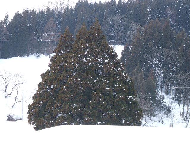 遠方からのズームアップした「トトロの木」