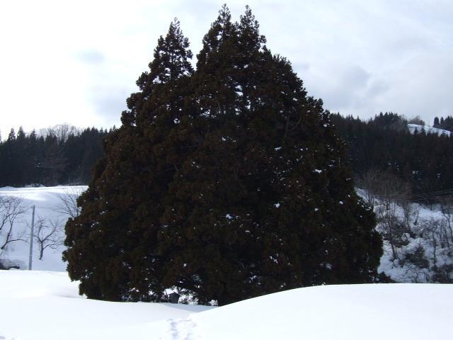 D目の前にある「トトロの木」を感慨無量で撮影する