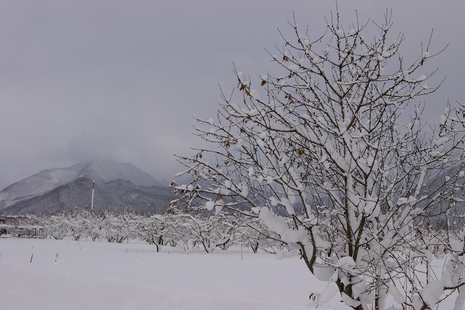 さくらんぼ畑の雪景色