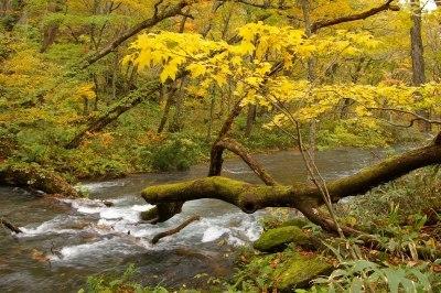 奥入瀬はすっかりと秋模様です。