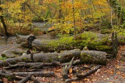 ブナの朽木