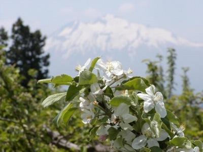岩木山にはりんごの花がよく似合う