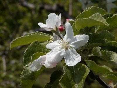 「岩木山にはりんごの花がよく似合う