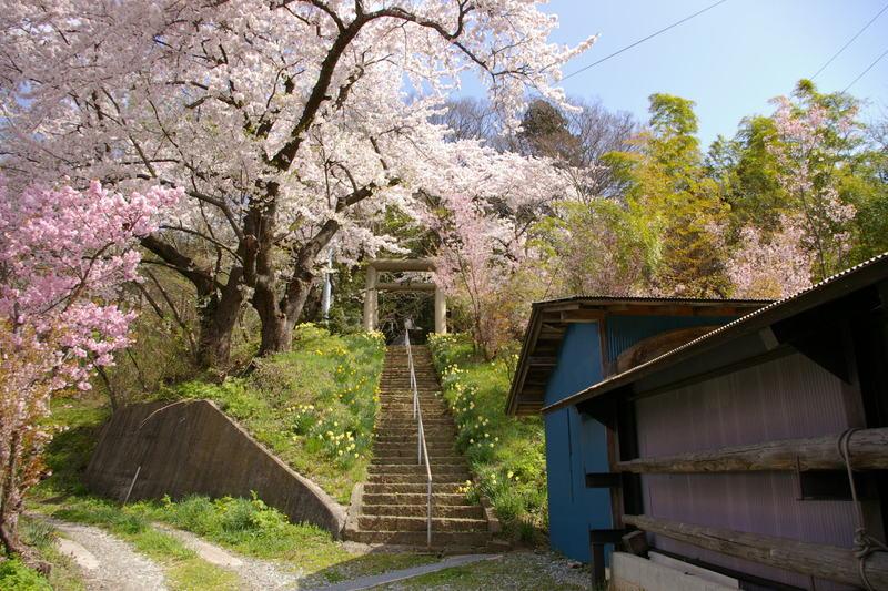 東根市高崎の桜満開