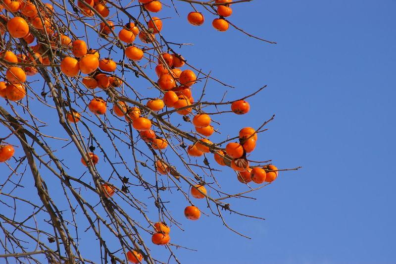 雪原に柿の木1本 「村山市真下慶治記念館付近」
