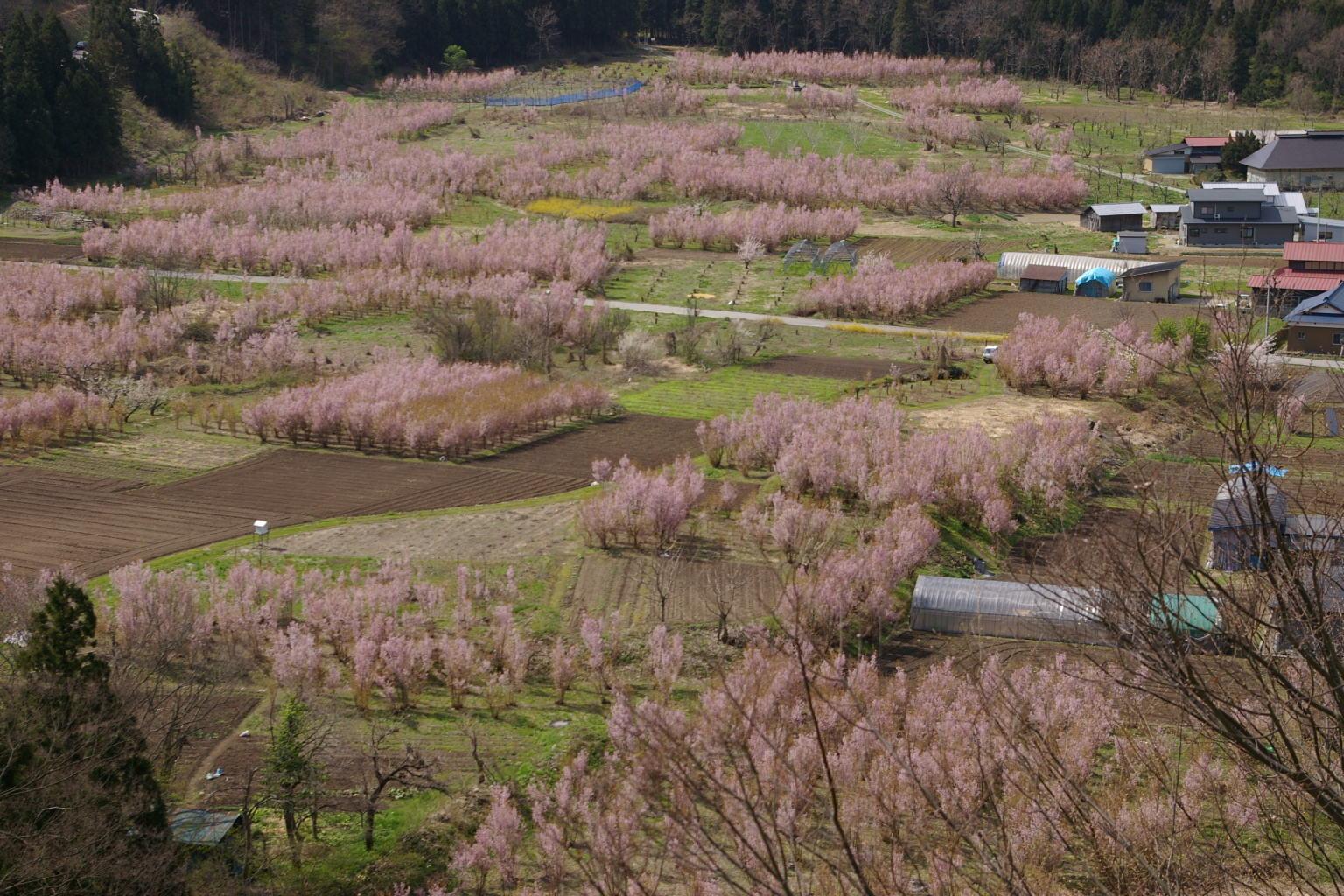 春の関山の啓翁桜の風景