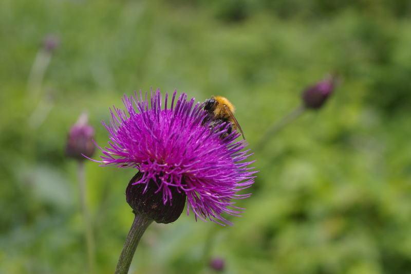 アザミに蜂がとまっていました