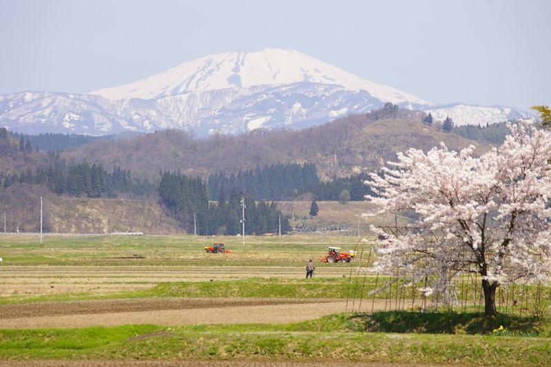 鮭川村 「鳥海山と桜」