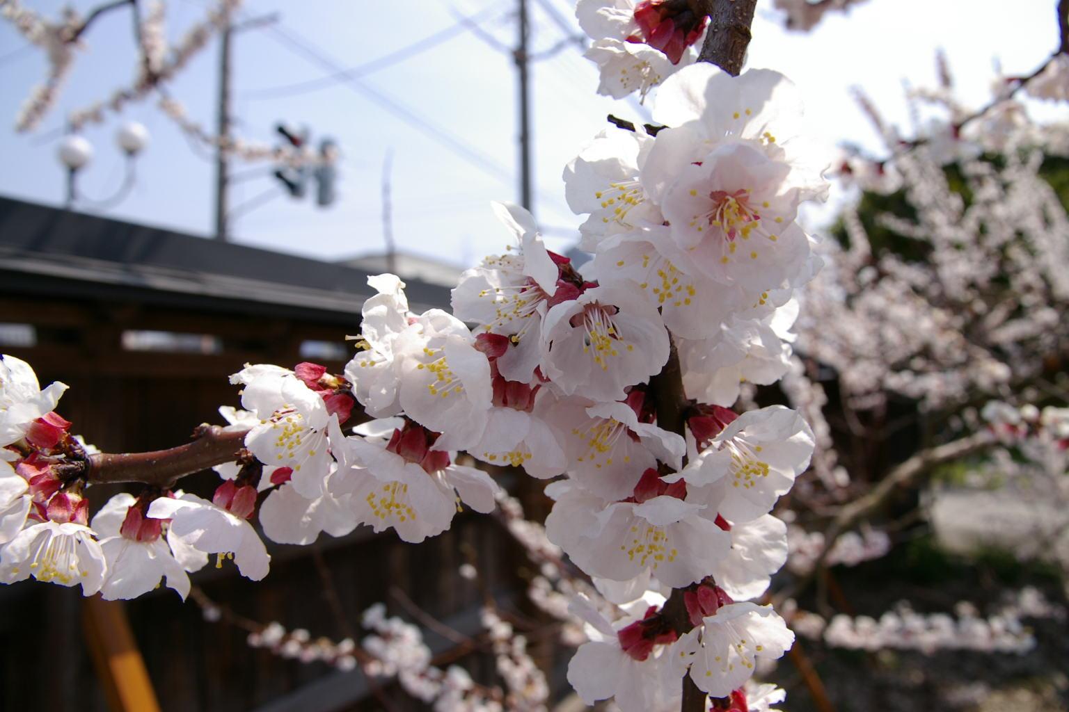 <br /> 隣の警察署を挟んだところには、見事なしだれ桜もあります。