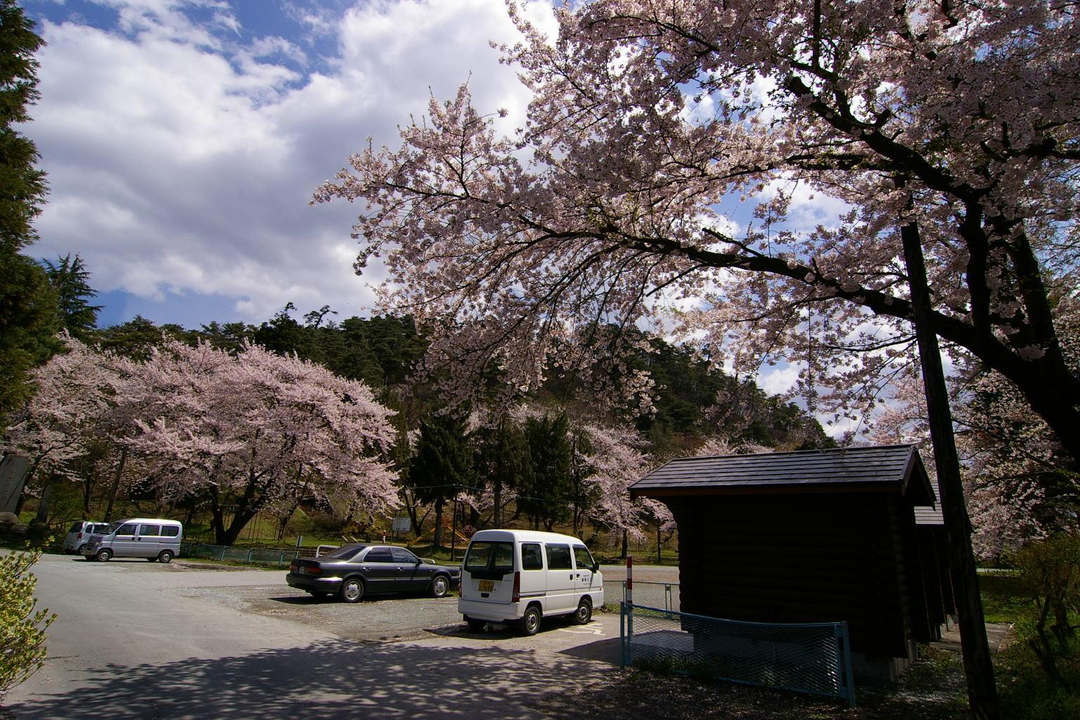 若木(おさなぎ)公園は、今が桜の真っ盛り