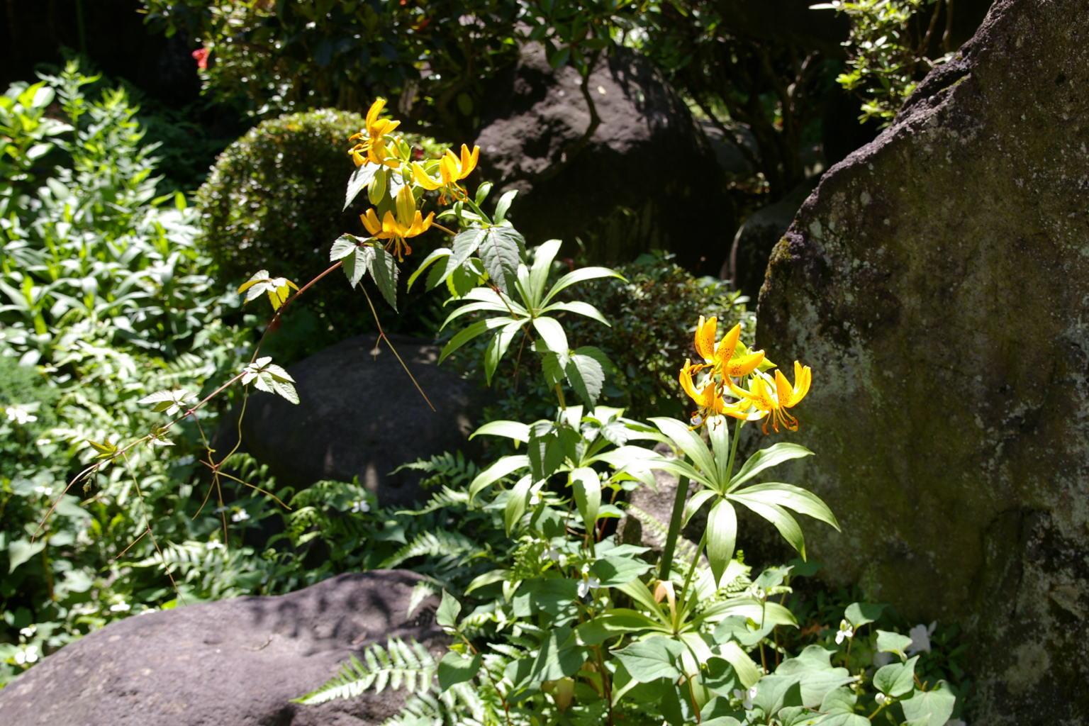 我が家の百合の花