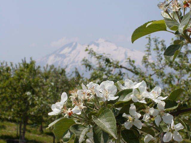 岩木山にはりんごの花がよき似合う
