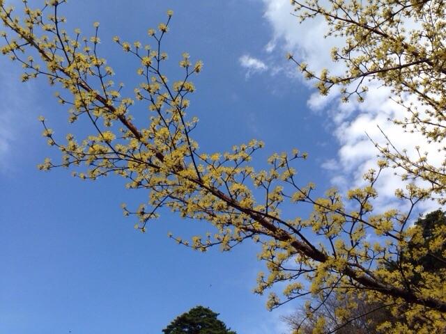 青空に山茱萸の花