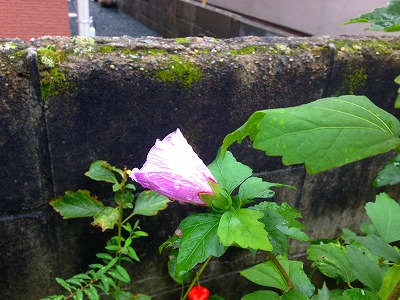 ムクゲの花、ソウタン