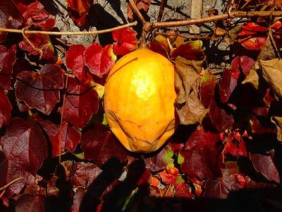 秋の熟した烏瓜の実です