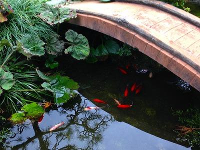 池で悠々と泳ぐ金魚たち