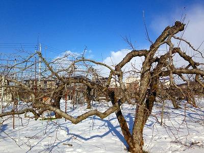 冬の果樹園です