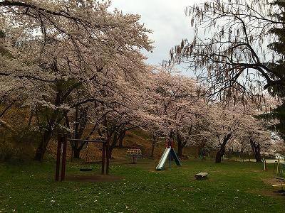 0若木山は桜色