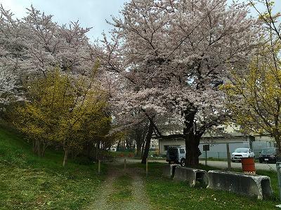 山茱萸と桜の花です