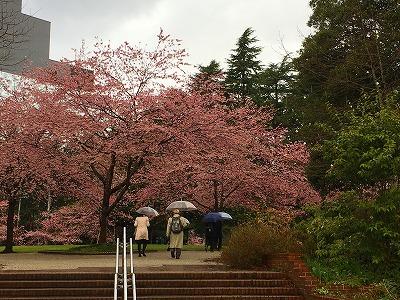 宮城県仙台市錦町公園の桜