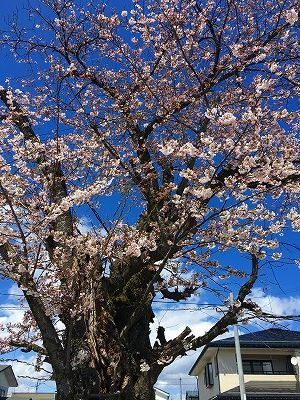 神町小学校の桜の木
