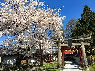 若木神社と桜