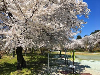春爛漫、若木山公園の桜、昼下がり<br />